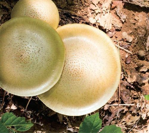 Kawaguchi, Takahiro / Utah Kawasaki: Amorphous Spores (erstwhile)